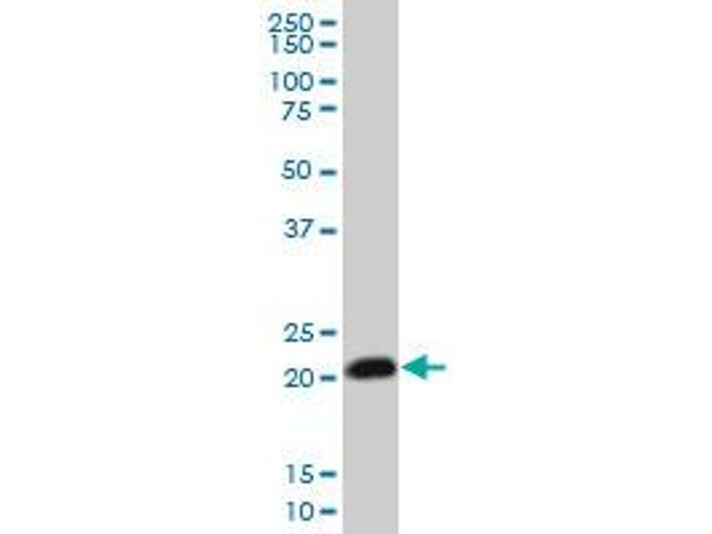 Western Blotting (WB) image for anti-Ras Homolog Gene Family, Member C (RHOC) (AA 1-193), (full length) antibody (ABIN513476)