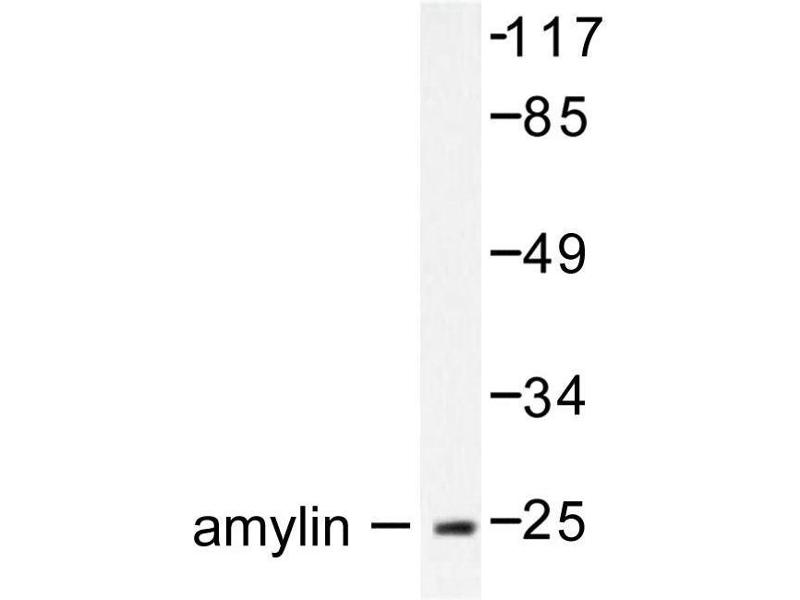 image for anti-Islet Amyloid Polypeptide (IAPP) antibody (ABIN271869)