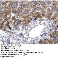 anti-MEOX1 antibody (Mesenchyme Homeobox 1) (N-Term)