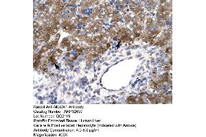 Image no. 3 for anti-Mesenchyme Homeobox 1 (MEOX1) (N-Term) antibody (ABIN2777534)