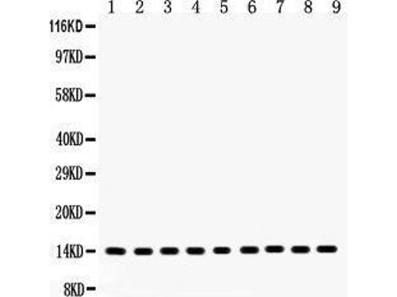 Western Blotting (WB) image for anti-Cytochrome C antibody (Cytochrome C, Somatic) (AA 2-105) (ABIN3042783)