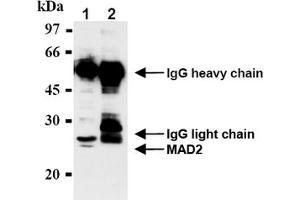 Image no. 2 for anti-MAD2 Mitotic Arrest Deficient-Like 1 (Yeast) (MAD2L1) antibody (ABIN567786)