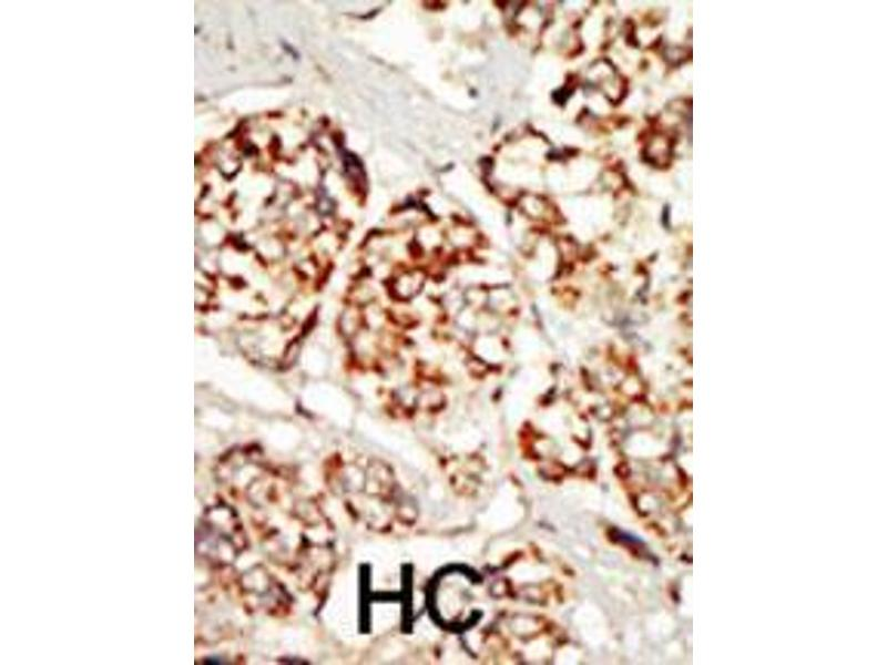 Immunohistochemistry (IHC) image for anti-Kinase Suppressor of Ras 1 (KSR1) (AA 1-30), (N-Term) antibody (ABIN392257)
