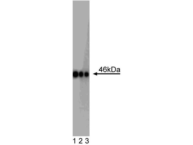image for anti-OCT4 antibody (POU Class 5 Homeobox 1) (AA 252-372) (ABIN968417)