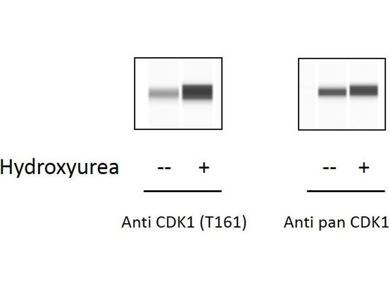 Image no. 1 for Cyclin-Dependent Kinase 1 (CDK1) ELISA Kit (ABIN6730453)