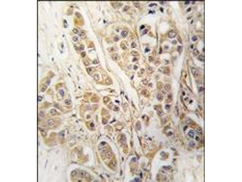 Immunohistochemistry (Paraffin-embedded Sections) (IHC (p)) image for anti-Chloride Intracellular Channel 4 (CLIC4) antibody (ABIN359726)