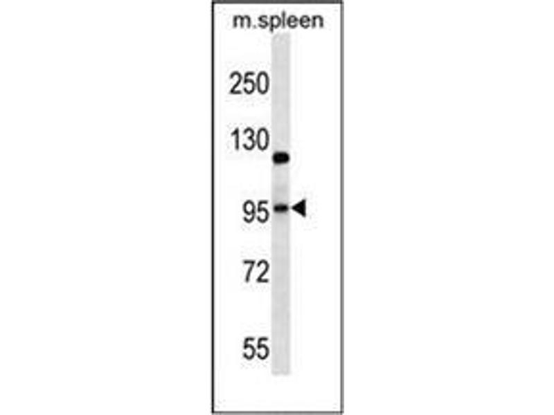 Western Blotting (WB) image for anti-Glutamate Receptor, Ionotrophic, AMPA 4 (GRIA4) (AA 295-325), (Middle Region) antibody (ABIN952535)