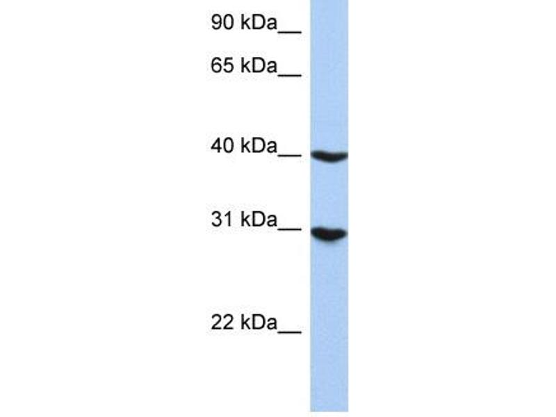 Western Blotting (WB) image for anti-Interferon Regulatory Factor 1 (IRF1) (N-Term) antibody (ABIN2777249)