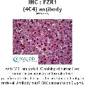 anti-FZR1 antibody (Fizzy/cell Division Cycle 20 Related 1 (Drosophila)) (AA 1-494)