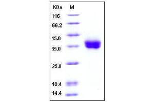 Image no. 1 for CD274 Molecule (CD274) (AA 1-239), (Extracellular Domain), (N-Term) (Active) protein (His tag) (ABIN2002037)