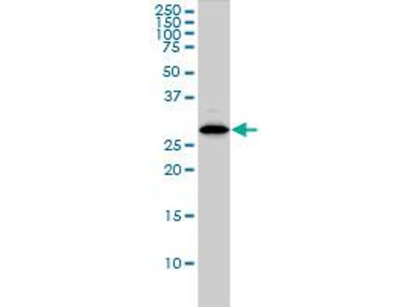 Western Blotting (WB) image for anti-Chloride Intracellular Channel 1 (CLIC1) (AA 1-241) antibody (ABIN560404)
