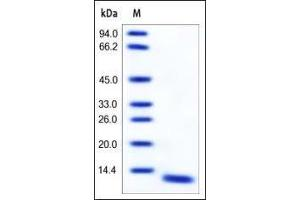 Image no. 1 for S100 Calcium Binding Protein A8 (S100A8) (AA 1-93) protein (ABIN2181719)