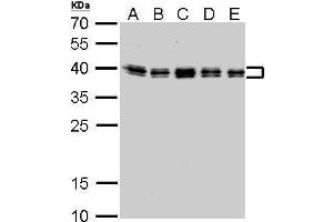 Image no. 5 for anti-Heterogeneous Nuclear Ribonucleoprotein C (C1/C2) (HNRNPC) (Center) antibody (ABIN2856905)