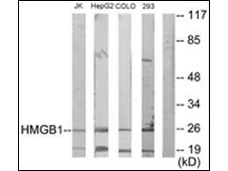 Western Blotting (WB) image for anti-High-Mobility Group Box 1 (HMGB1) antibody (ABIN5611596)
