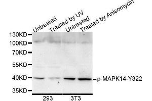Image no. 1 for anti-Mitogen-Activated Protein Kinase 14 (MAPK14) (pTyr322) antibody (ABIN3023580)