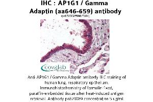 Image no. 1 for anti-Adaptor-Related Protein Complex 1, gamma 1 Subunit (AP1G1) (AA 646-659) antibody (ABIN1731828)