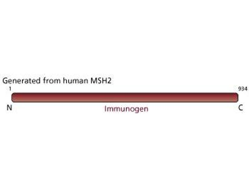 Image no. 2 for anti-MutS Homolog 2, Colon Cancer, Nonpolyposis Type 1 (E. Coli) (MSH2) antibody (ABIN967509)