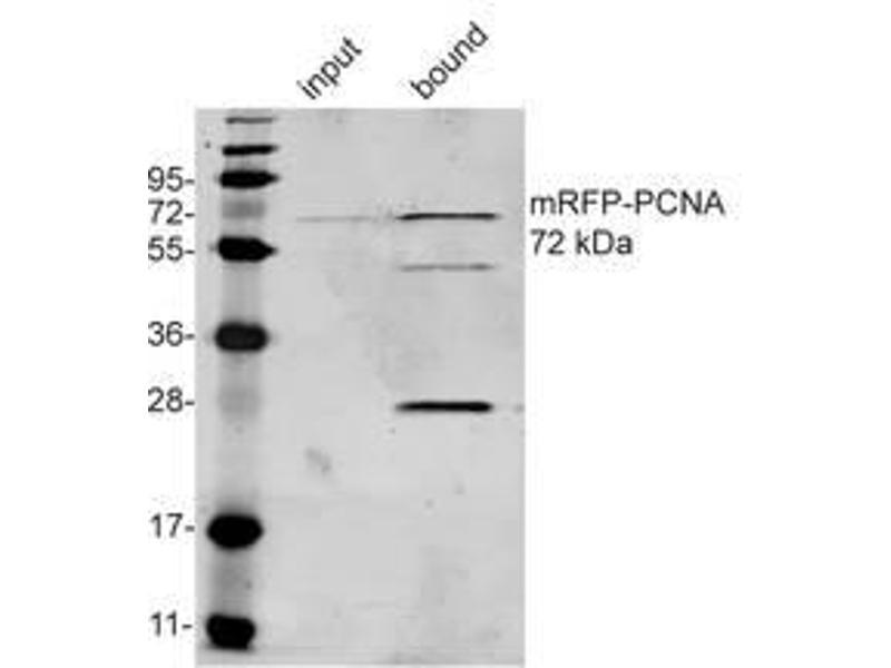 Immunoprecipitation (IP) image for anti-Red Fluorescent Protein (RFP) antibody (ABIN334653)