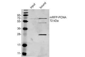 Immunoprecipitation (IP) image for anti-RFP antibody (Red Fluorescent Protein) (ABIN334653)