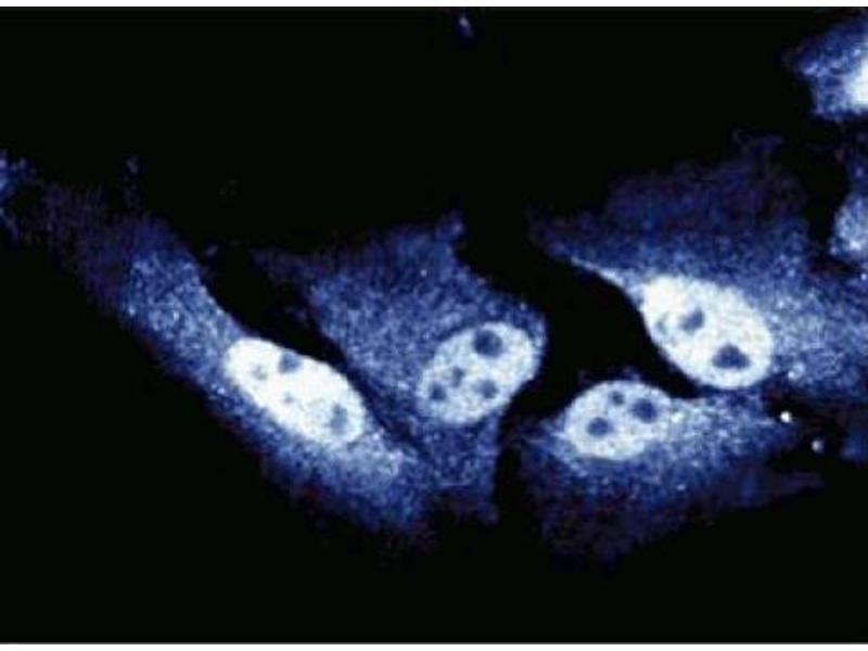 Immunofluorescence (IF) image for anti-Cell Division Cycle 27 Homolog (S. Cerevisiae) (CDC27) (AA 145-343) antibody (ABIN967980)