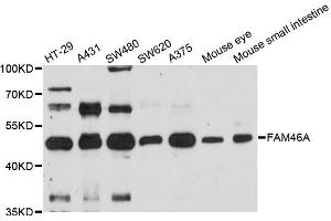 Image no. 1 for anti-Family with Sequence Similarity 46, Member A (FAM46A) antibody (ABIN6567636)