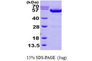 Image no. 1 for Annexin A11 (ANXA11) (AA 1-505) protein (His tag) (ABIN667834)