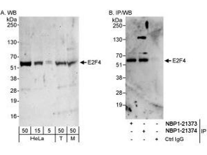 Western Blotting (WB) image for anti-E2F Transcription Factor 4, P107/p130-Binding (E2F4) (AA 363-413) antibody (ABIN439334)