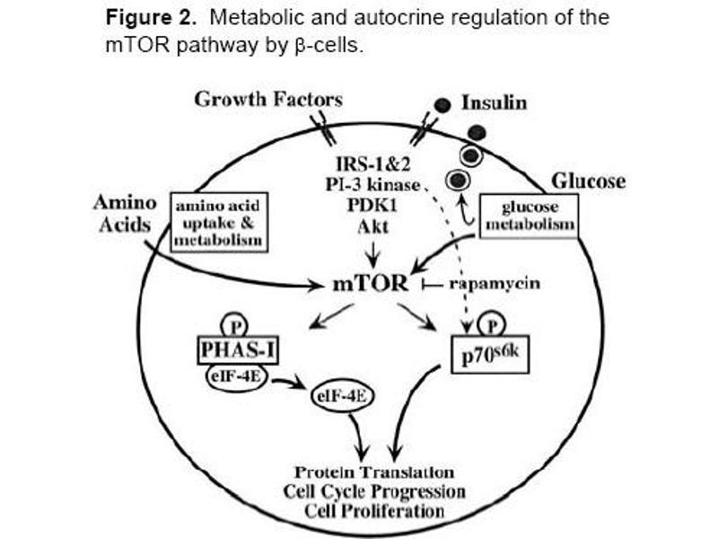 image for anti-Mechanistic Target of Rapamycin (serine/threonine Kinase) (FRAP1) (AA 2440-2457) antibody (ABIN401320)