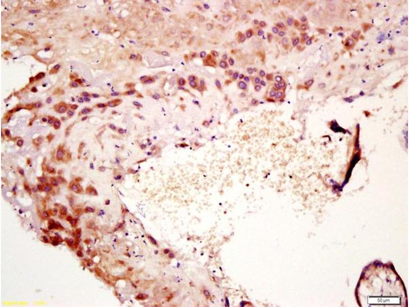 Immunohistochemistry (IHC) image for anti-IL7 antibody (Interleukin 7) (AA 50-100) (ABIN734783)