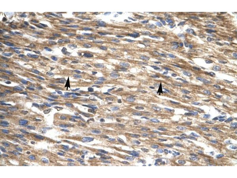 Immunohistochemistry (IHC) image for anti-D Site of Albumin Promoter (Albumin D-Box) Binding Protein (DBP) (Middle Region) antibody (ABIN1106957)