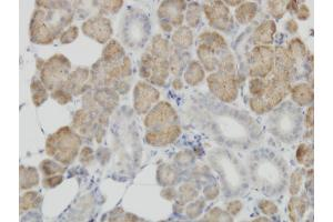 Image no. 1 for anti-Cytochrome C Oxidase Subunit IV Isoform 2 (Lung) (COX4I2) (AA 21-104) antibody (ABIN566588)