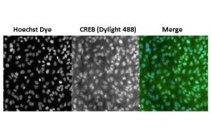 Image no. 5 for anti-cAMP Responsive Element Binding Protein 1 (CREB1) antibody (ABIN261497)