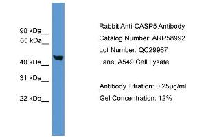 Image no. 2 for anti-Caspase 5, Apoptosis-Related Cysteine Peptidase (CASP5) (Middle Region) antibody (ABIN2787906)