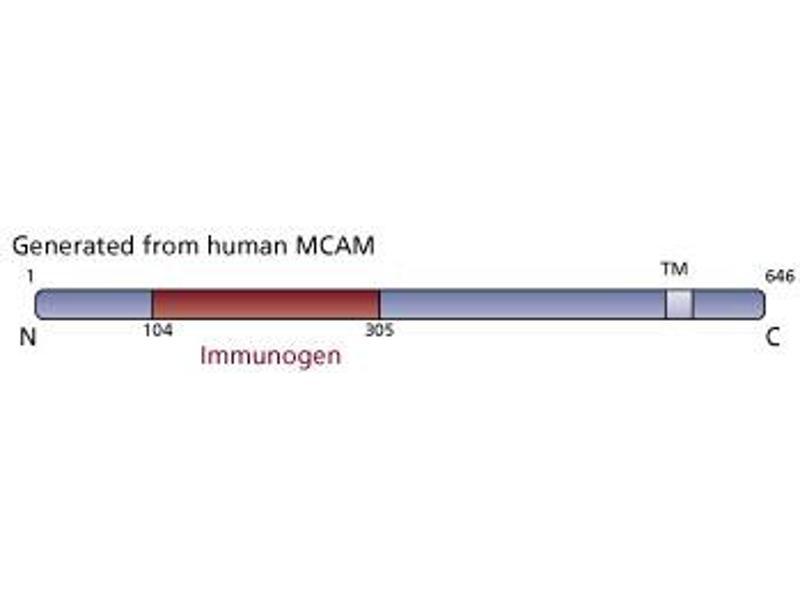 Image no. 3 for anti-MCAM antibody (Melanoma Cell Adhesion Molecule) (AA 104-305) (ABIN968422)