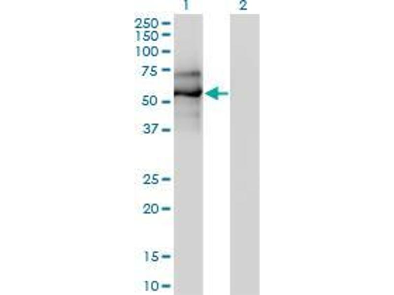 Western Blotting (WB) image for anti-Early B-Cell Factor 1 (EBF1) (AA 1-592) antibody (ABIN394897)