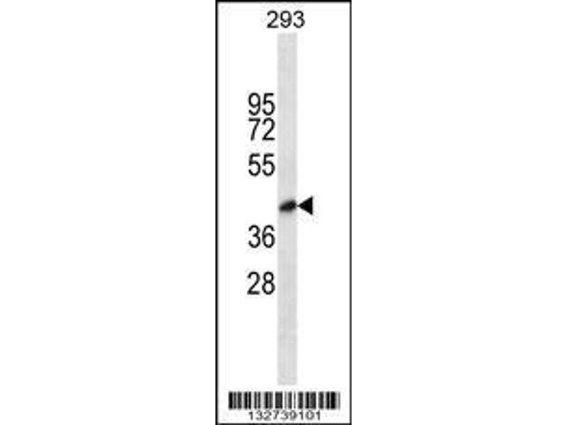 Western Blotting (WB) image for anti-Blood Vessel Epicardial Substance (BVES) (AA 313-342), (C-Term) antibody (ABIN656934)