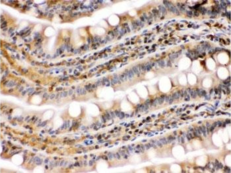 Image no. 3 for anti-Heat Shock Protein 90kDa alpha (Cytosolic), Class B Member 1 (HSP90AB1) antibody (ABIN4951373)