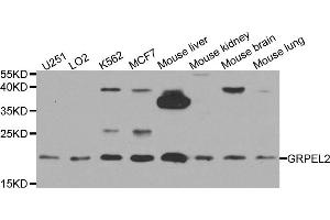 Image no. 1 for anti-GrpE-Like 2, Mitochondrial (GRPEL2) antibody (ABIN2736863)