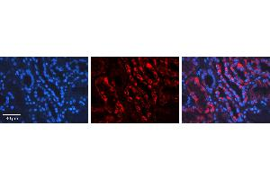 Image no. 5 for anti-Apoptosis-Inducing Factor, Mitochondrion-Associated, 1 (AIFM1) (C-Term) antibody (ABIN2778665)