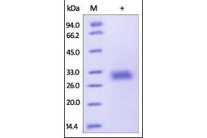 SDS-PAGE (SDS) image for Adiponectin  (ADIPOQ ) (AA 19-244) (Active) protein (His tag) (ABIN2180564)