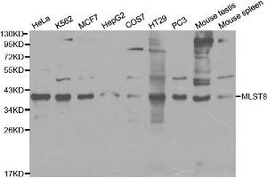 Image no. 1 for anti-mTOR Associated Protein, LST8 Homolog (MLST8) antibody (ABIN3021324)