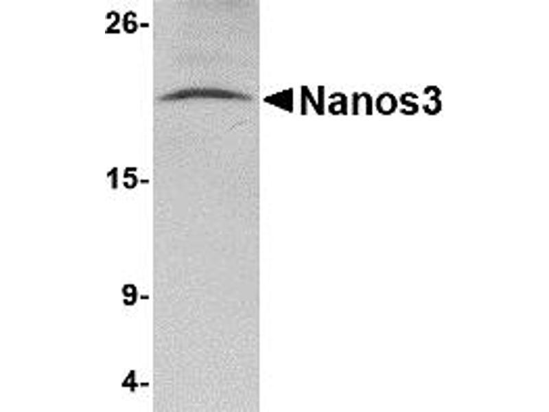 Western Blotting (WB) image for anti-Nanos Homolog 3 (NANOS3) (C-Term) antibody (ABIN1030535)