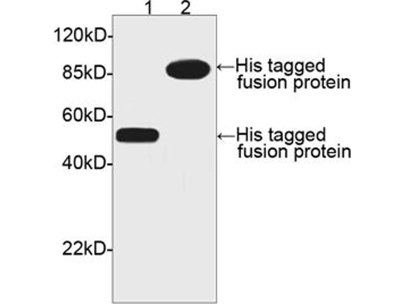 image for anti-His Tag (C-Term) antibody (ABIN2605966)