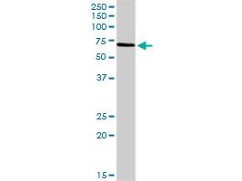 Western Blotting (WB) image for anti-BIRC3 Antikörper (Baculoviral IAP Repeat Containing 3) (AA 1-604) (ABIN513398)