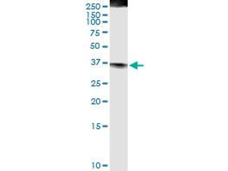 Immunoprecipitation (IP) image for anti-Fas Ligand (TNF Superfamily, Member 6) (FASL) (AA 1-281), (full length) antibody (ABIN513444)