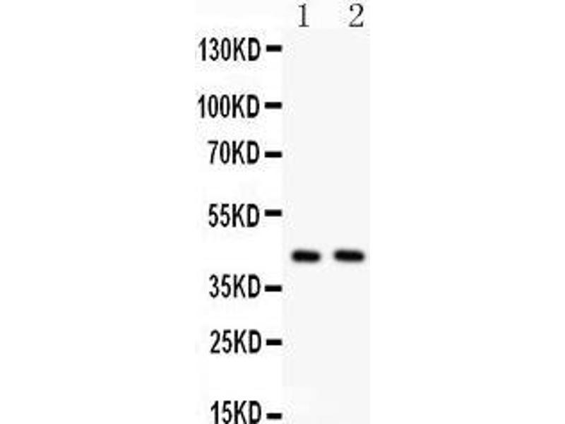 Western Blotting (WB) image for anti-Transmembrane Protein 173 (TMEM173) (AA 284-316), (C-Term) antibody (ABIN3043423)