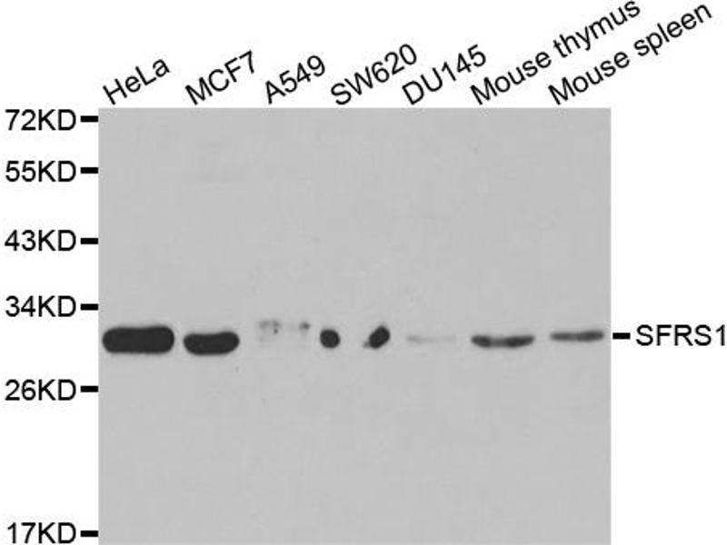 Image no. 2 for anti-serine/arginine-Rich Splicing Factor 1 (SRSF1) antibody (ABIN6568828)