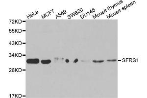 Image no. 2 for anti-serine/arginine-Rich Splicing Factor 1 (SRSF1) antibody (ABIN6568828)