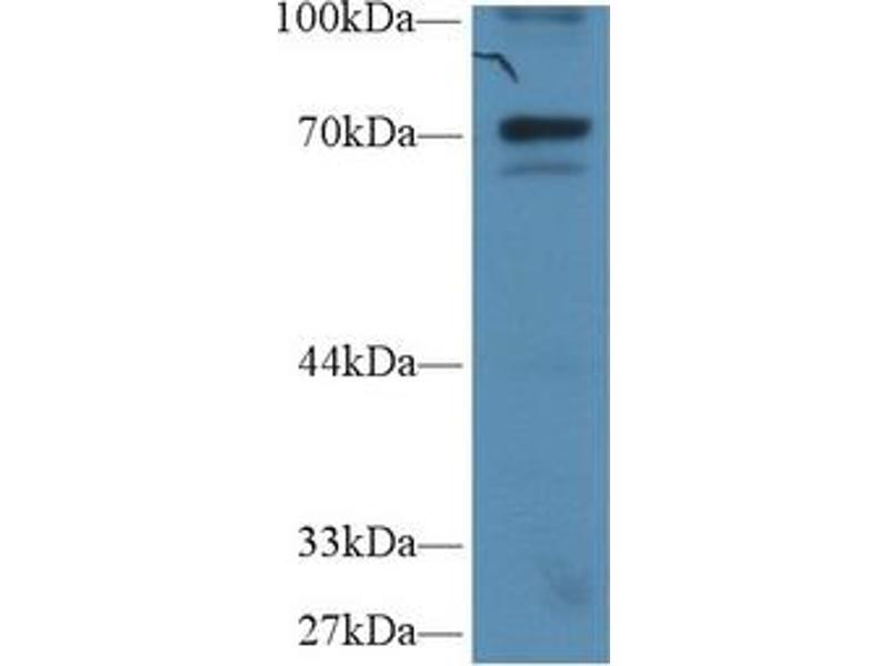 Western Blotting (WB) image for anti-Nuclear Factor of kappa Light Polypeptide Gene Enhancer in B-Cells Inhibitor, zeta (NFKBIZ) (AA 422-651) antibody (ABIN1859325)