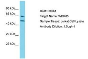 Image no. 1 for anti-Diphthamide Biosynthesis 7 (DPH7) (AA 22-71) antibody (ABIN6750735)